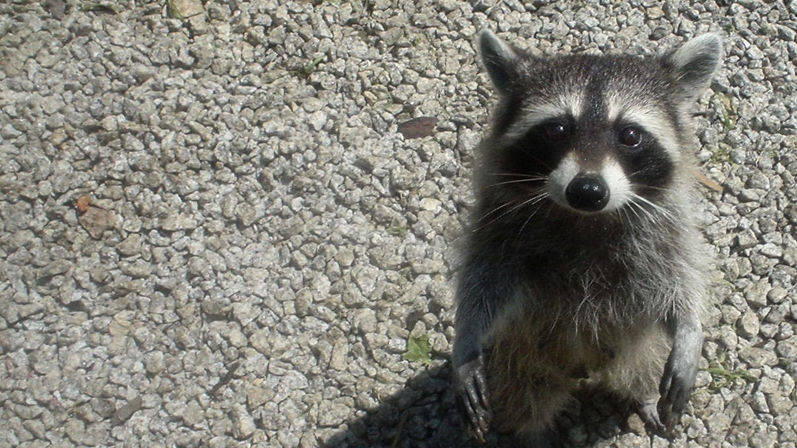 Raccoon Sneaks Into Alcohol Warehouse and Gets Wasted photo
