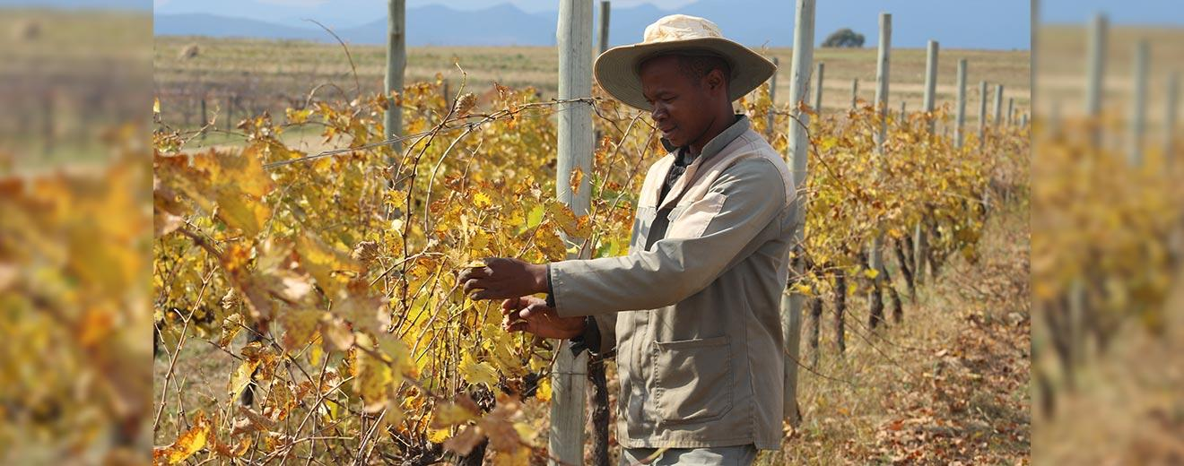 Lesotho winemaker excelling photo