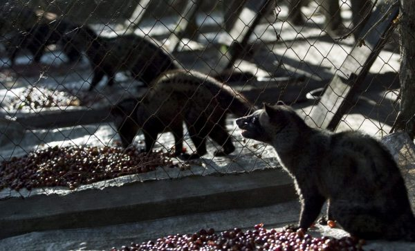 The world's most expensive coffee is a nightmare for the animals who produce it photo