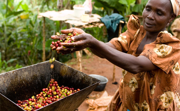 Coffee could be EXTINCT by 2080: how global warming is impacting our supply chain photo