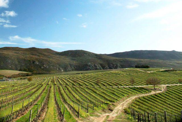 Creation pushing to make South African vineyards virus-free photo