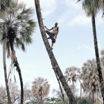 These Men Are Harvesting Wine From Namibia`s Palm Trees photo