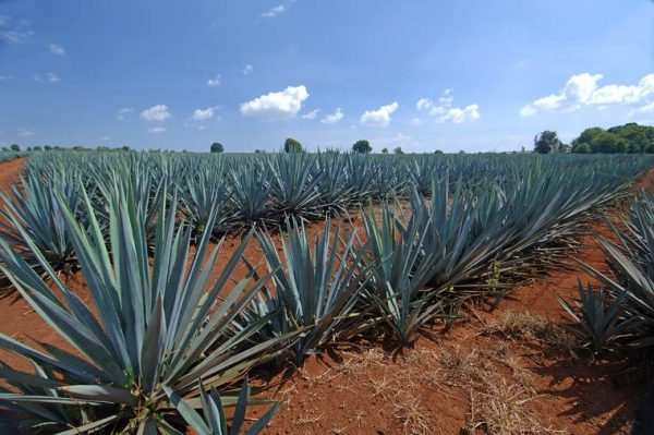 How tequila could be key in our battle against climate change photo