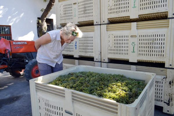 Backsberg Harvest 2017 Kicks-off Early with Top Quality Fruit photo