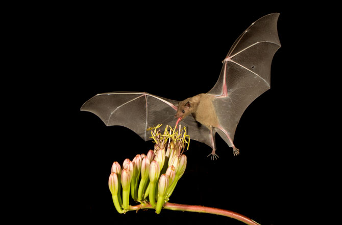 Tequila might have saved this endangered bat species photo