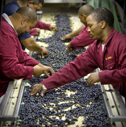 La Motte Harvest Update: It is all about the grapes – or is it? photo