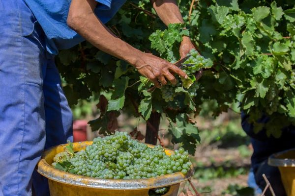 Longer hang-time, more flavour features Du Toitskloof Harvest 2017 photo