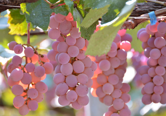 Japanese national grape, Koshu, has been picking up awards for several years, mostly under the radar. photo