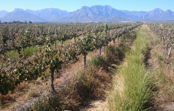 Cape vineyards hit by 'devastating' black frost photo