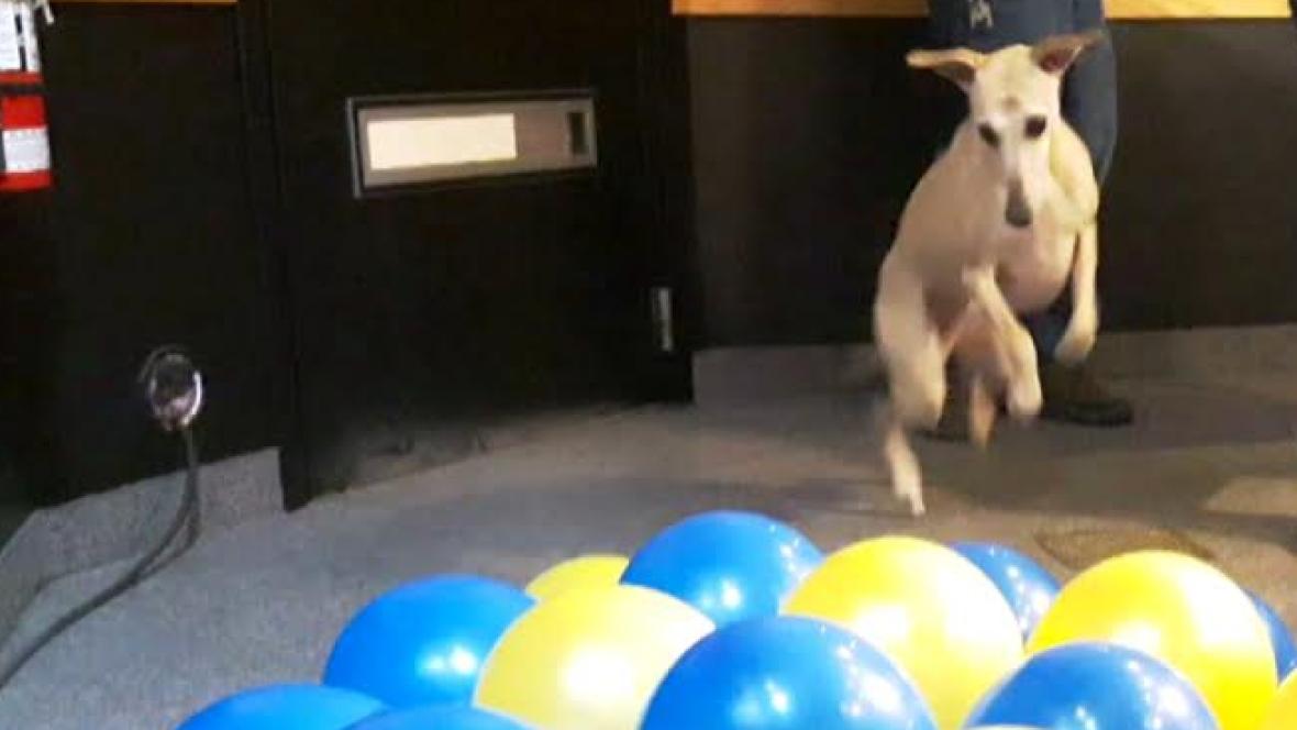 Pop Goes The Whippet: Calgary Dog's Balloon-bursting Skills Break Guinness World Record photo