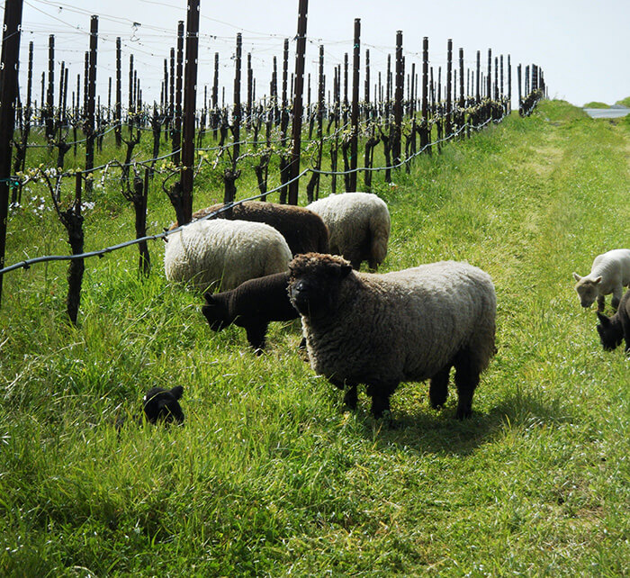 How Bugs And Other Critters Are Saving Vineyards photo