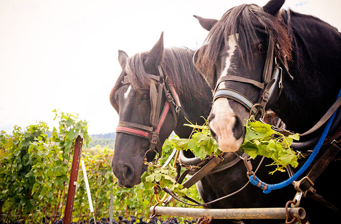 Why More Winemakers Are Upping Their Horse-power photo