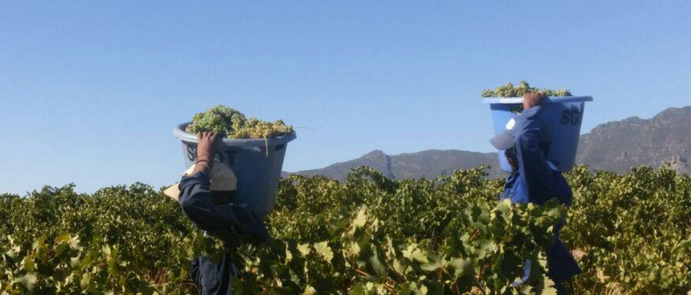 Riebeek Cellars 2017 Harvest: Low Yields and Excellent Quality Wines photo