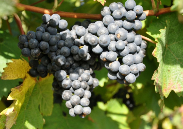 Biddenden Vineyards Roll Out Fires, Water Canons And Air Machines To Protect Grape Crop From April Frosts photo