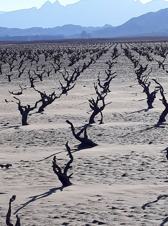 Old Vineyards Resurface As Dams Run Dry In Western Cape photo