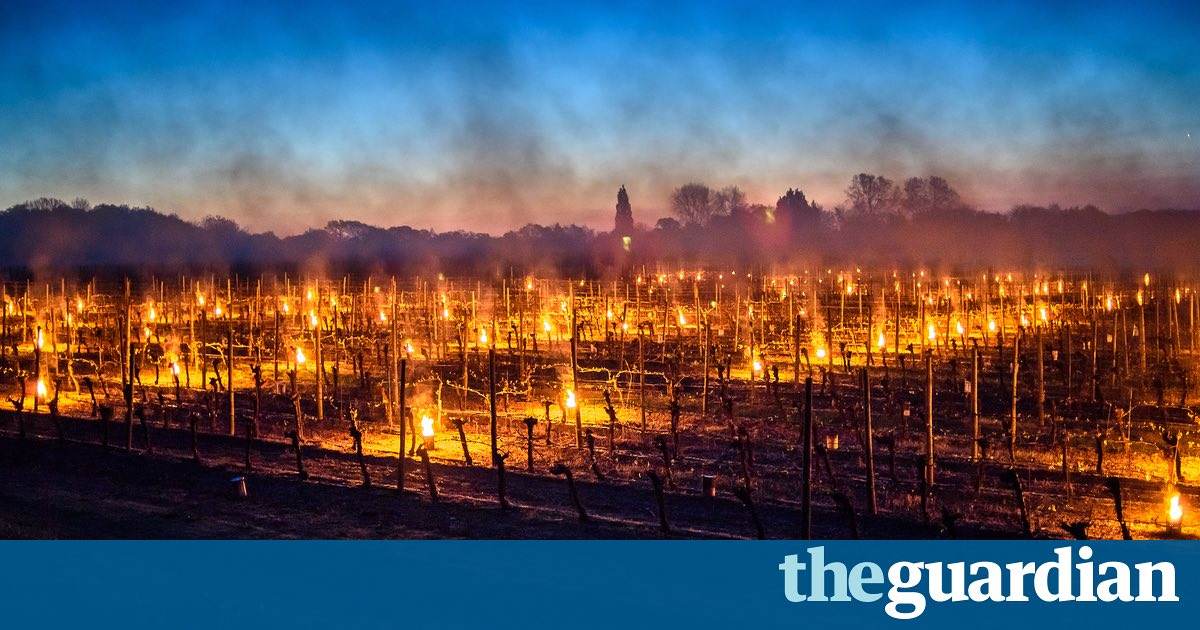English Vineyards Report 'catastrophic' Damage After Severe April Frost photo