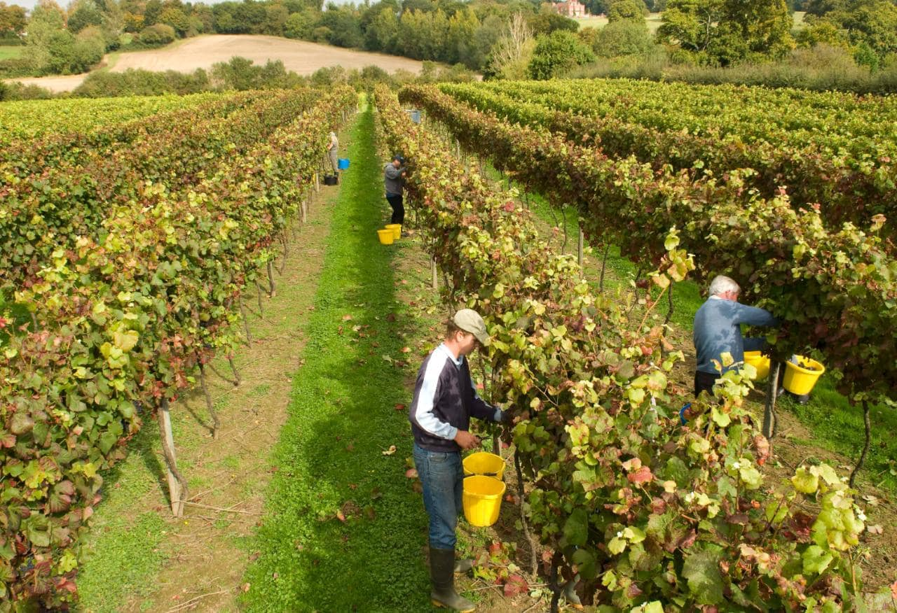 Cold Snap That Destroyed English Vineyards May Be Worse Than First Thought, Growers Fear photo