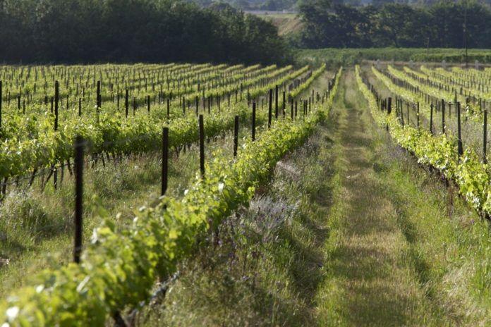 The Sustainability Of Organic Wine Production photo