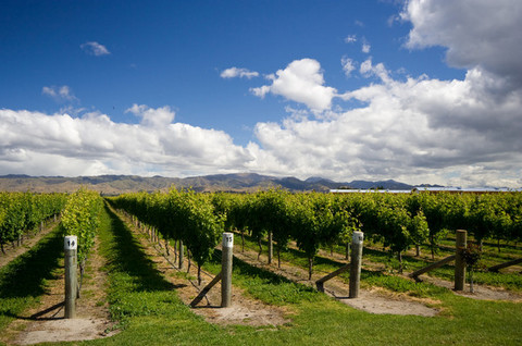 New Zealand Grape Harvest Smaller But ?full Of Promise? photo