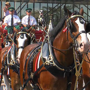 Budweiser Clydesdales Make Appearance Downtown Fargo photo