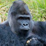 Silverback Gorilla Turns Beer Brewer photo