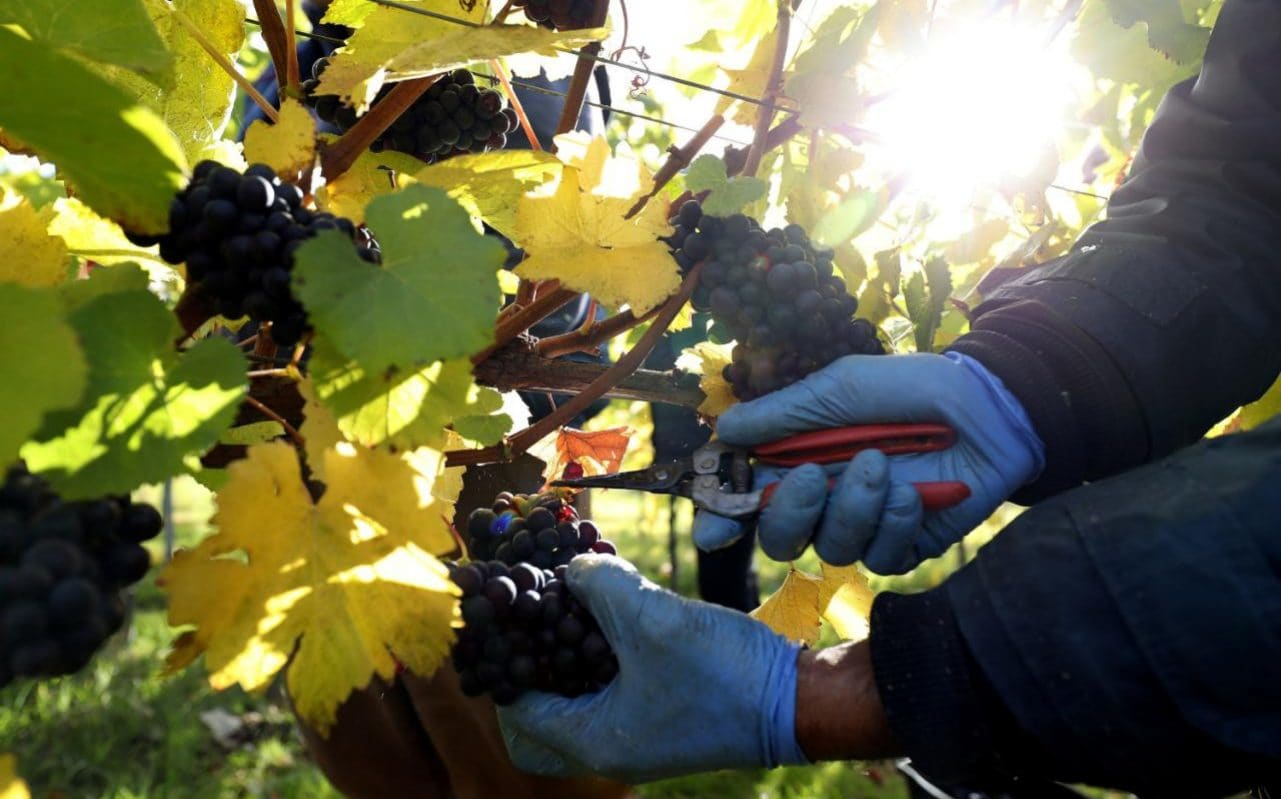Bumper Year For English Wine As Figures Show It Is Now £130m Industry photo