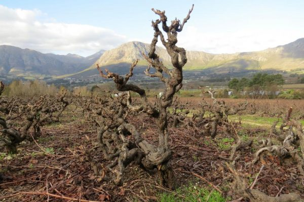South Africa`s Old Vine Project photo