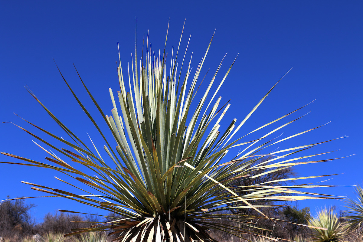 What Is Sotol? photo
