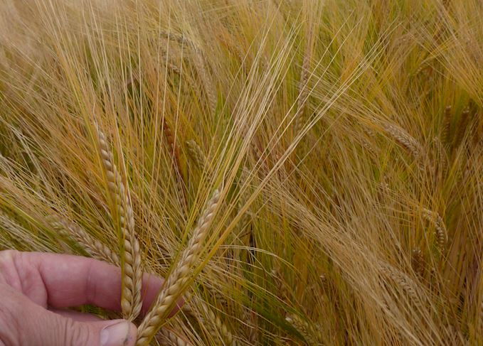 Is Barley Variety Crucial To Whisky Flavour? photo