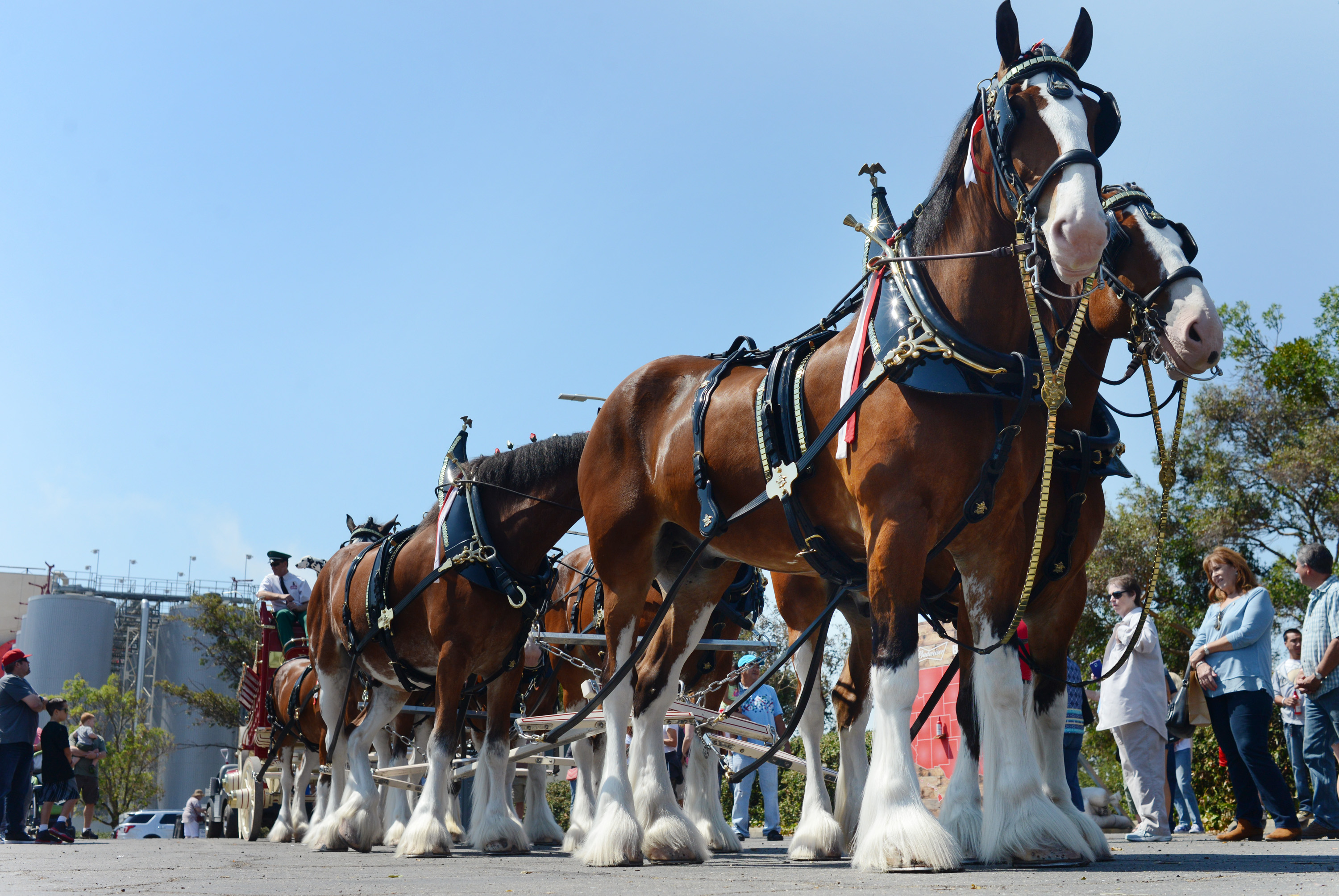 Clydesdales Highlight Budweiser Open House Event photo