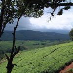 Job losses at tea estate a failed example of ANC's land reform policy photo