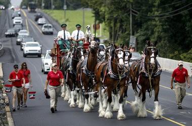 Budweiser Clydesdales Parade Through Annville photo