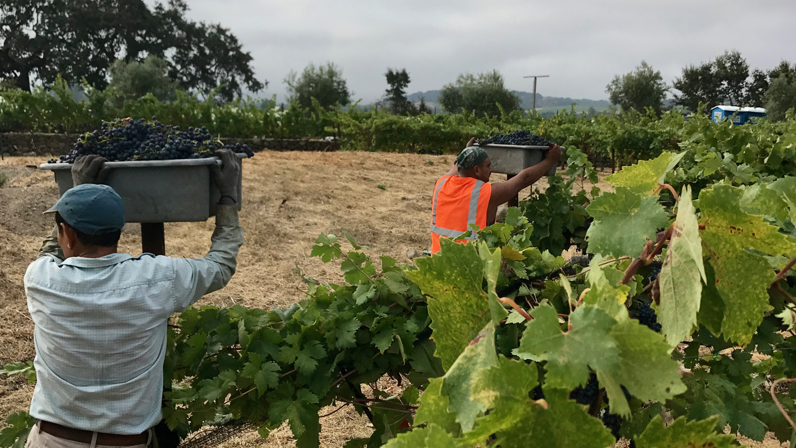Napa And Sonoma Vintners Face Record Heat And A Labor Shortage photo