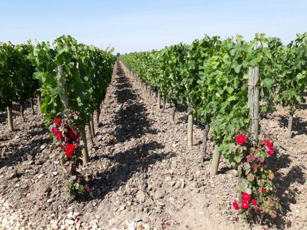 Petrus Vineyard e1504689682937 Petrus grants Great Domaines distribution rights in South Africa