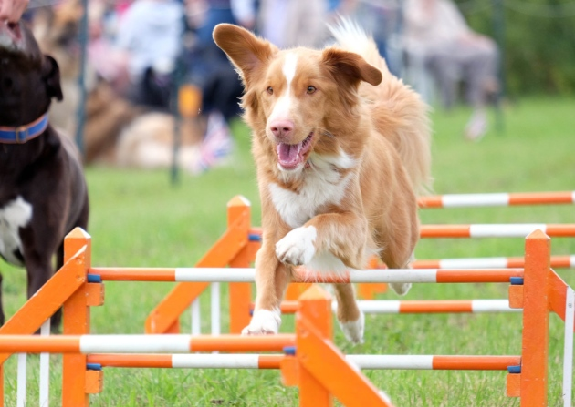 Hundreds Enjoy Dog Agility Display At Drinkstone Village Fete photo