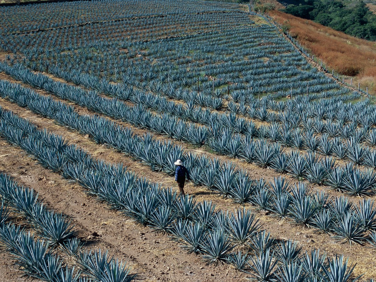 Discovering The Art Of Tequila In Jalisco, Mexico photo