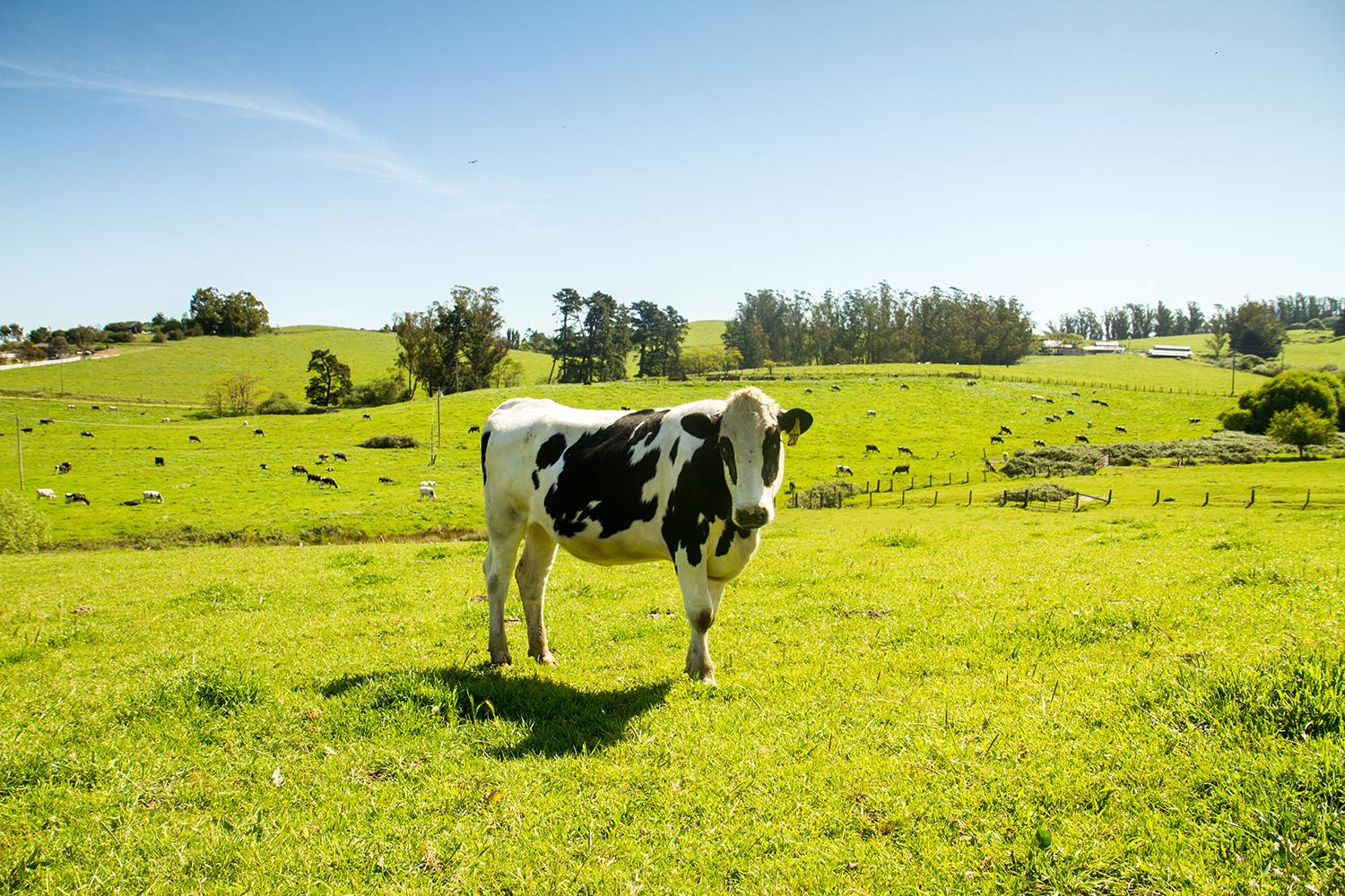 Clover Sonoma, A Pioneer Of Clean, Sustainable, Organic Milk photo