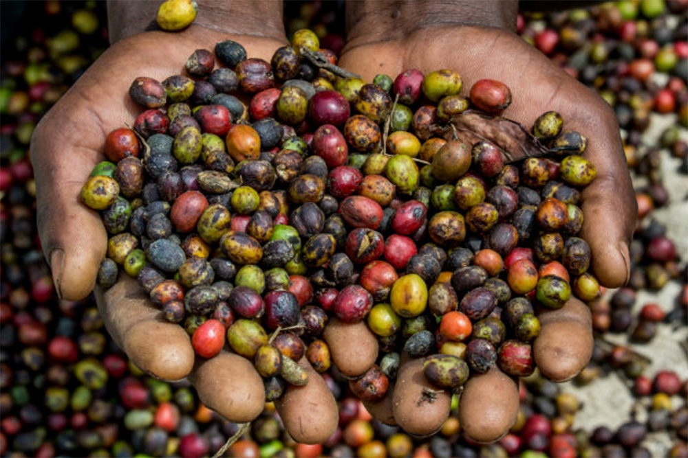 A New Study Shows The Ugly Side Of Coffee Production In Uganda photo