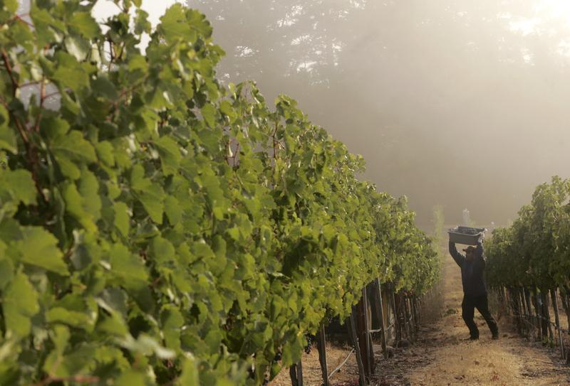 Face Of California Wine Is On Fire, Threatening Us$50,000 Grapes photo