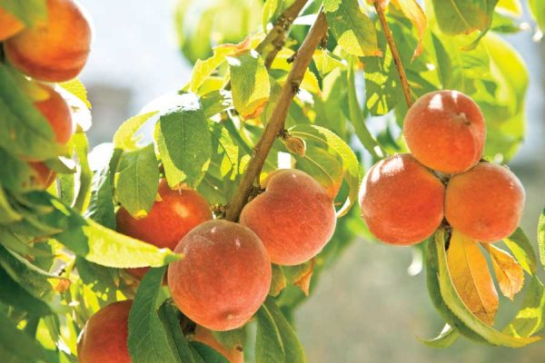 Stone Fruit Farmers Develop Waterwise Strategy photo