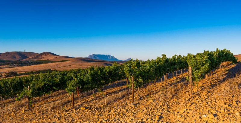Diemersdal Dry-land Vines Hold Promise of Bumper Crop Despite SA Drought photo