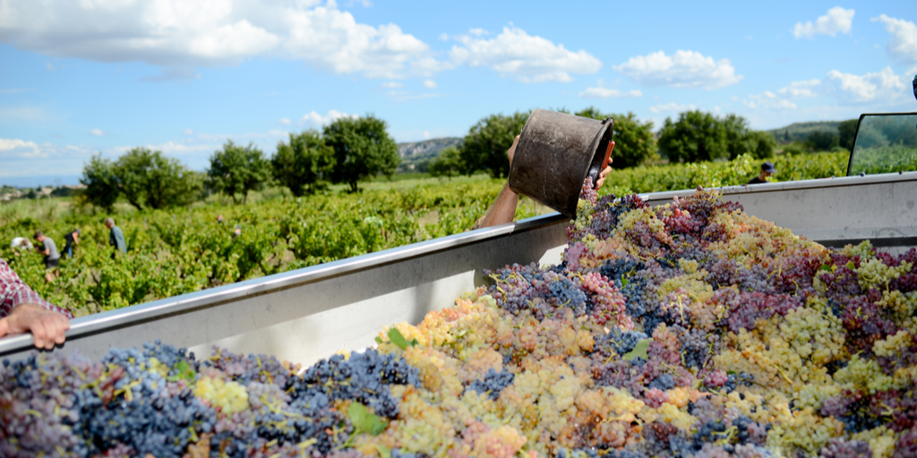 Humble harvests for South Africa's wine industry, but high quality photo