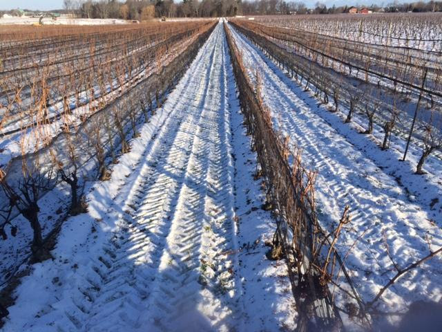 Harvesting Of Icewine Grapes Begins In Niagara Wine Country photo