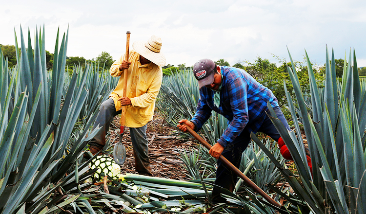 Soaring Prices Give Mexican Tequila Makers A Big Headache photo