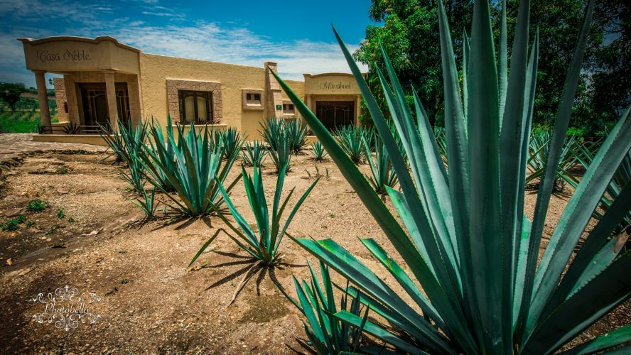 La Industria Tequilera Descarta Escasez De Agave photo