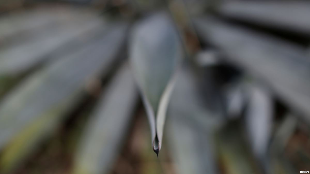 Soaring Agave Prices Give Mexican Tequila Makers A Headache photo