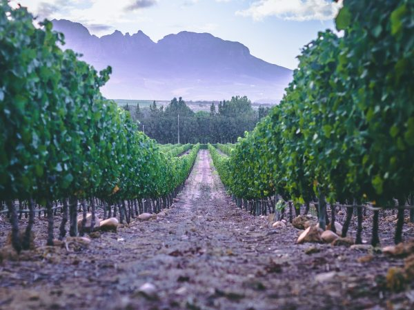 How #DayZero effects the 2018 harvest at Boschendal photo