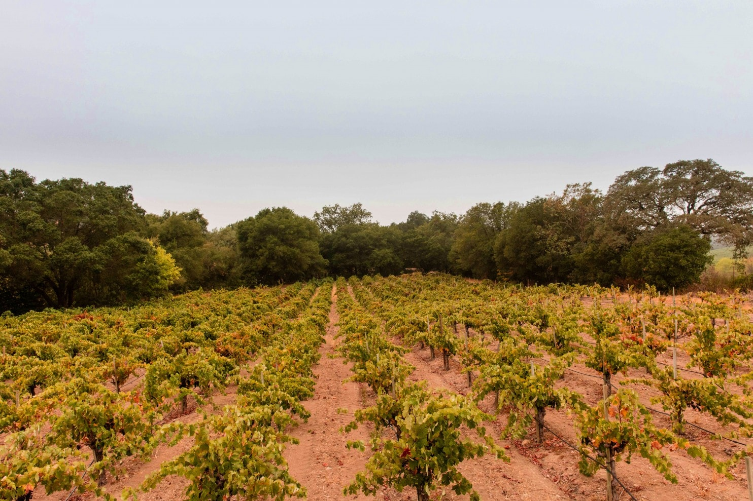 How Can Producers Secure Zinfandel's Future? By Looking To The Past. photo