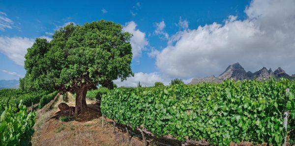 UvaMira SingleTree 01 e1517556585206 The Single Tree Chardonnay from Uva Mira excels at the Drinks Business Global Chardonnay Masters