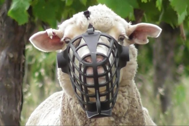 Silence Of The Lambs: Sheep Muzzled To Protect Grapes photo